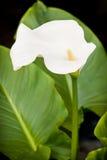 Un fiore bianco della calla fotografie stock
