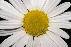 Un fiore bianco della camomilla con i petali lunghi e un nucleo giallo, sopra fotografia stock libera da diritti