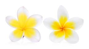 Un fiore bianco di due plumerie del frangipane isolato su bianco Fotografie Stock Libere da Diritti