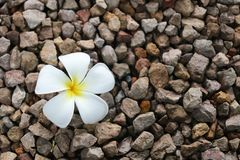 Un fiore bianco di plumeria Fotografia Stock
