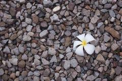 Un fiore bianco di plumeria sul pavimento delle rocce Fotografia Stock