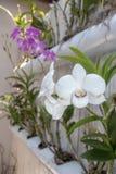 """Un fiore bianco speci del Dendrobium del †dell'orchidea del Dendrobium """" Immagini Stock Libere da Diritti"""