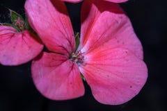 Un fiore con cinque petali rosa luminosi Fotografia Stock