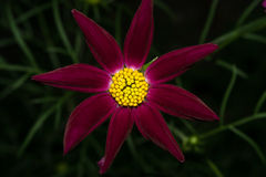 Un fiore con i petali lunghi di Borgogna e un nucleo giallo luminoso Su una priorità bassa scura Macro fotografia stock libera da diritti