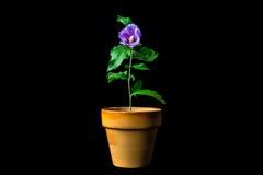 Un fiore conservato in vaso Immagine Stock