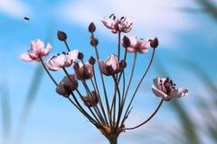 Un fiore contro il cielo Il umbellatus di Butomus è un flo umbellate fotografie stock libere da diritti