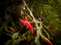 Un fiore da un cactus di Natale Fotografia Stock