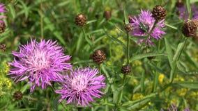 Un fiore del cardo selvatico su un prato Bombo sul Carduus del cardo selvatico del fiore al primo piano del prato video d archivio