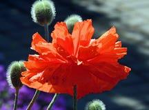 Un fiore del color scarlatto del papavero alla luce solare fotografia stock libera da diritti