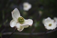 Un fiore del corniolo nel legno Fotografie Stock