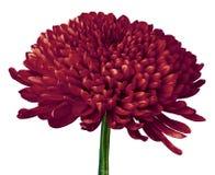 Un fiore del crisantemo del carminio isolato su un fondo bianco Primo piano Immagini Stock Libere da Diritti