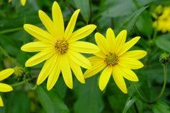 Un fiore del crisantemo che rende a bella fioritura gialla dei fiori ogni anno, eppure può mangiare i gambi fotografie stock libere da diritti