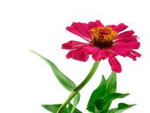 Un fiore del gerbera isolato immagini stock