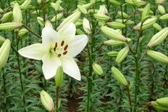Un fiore del giglio bianco Fotografia Stock Libera da Diritti