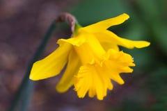 Un fiore del narciso in un giardino il 19 luglio 2011 Immagine Stock