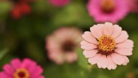 Un fiore delicato è grande contro un gran numero di fiori Primo piano archivi video
