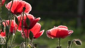 Un fiore delicato Un papavero rosso luminoso, attira le api Colore attraente, luminoso, rosso stock footage