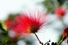 Un fiore dell'albero di seta o della mimosa persiano Fotografie Stock Libere da Diritti