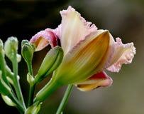 Un fiore dell'emerocallide. Immagini Stock
