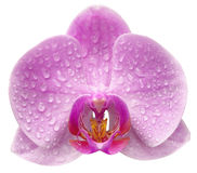 Un fiore dell'orchidea Fotografia Stock Libera da Diritti