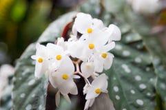 Un fiore della begonia con la foglia del pois fotografie stock libere da diritti
