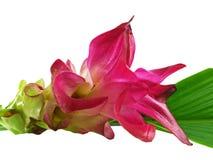 Un fiore ?della curcuma? fotografia stock