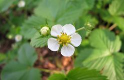 Un fiore della fragola di bosco fotografia stock libera da diritti