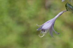 Un fiore della hosta Immagine Stock