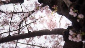 Un fiore di ciliegia o Sakura nel Giappone Il fiore di fioritura rappresenta la primavera ed inoltre è uno del simbolo famoso gia fotografie stock libere da diritti