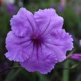 Un fiore di cinque petali Immagini Stock Libere da Diritti