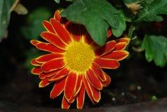 Un fiore di due colori immagine stock libera da diritti