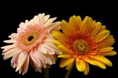 Un fiore di due gerbere Immagine Stock