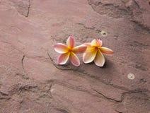 Un fiore di due plumerie sulla pietra rossa della sabbia Immagine Stock Libera da Diritti