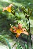 Un fiore di un emerocallide arancio Fotografia Stock