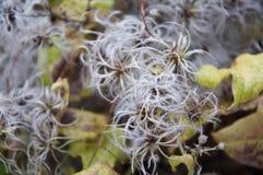 un fiore di fioritura selvaggio di uno sguardo molto sconosciuto Immagine Stock