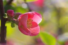 Un fiore di lagenaria di chaenomeles immagini stock