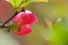 Un fiore di lagenaria di chaenomeles fotografia stock