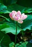 Un fiore di loto di fioritura Immagine Stock Libera da Diritti