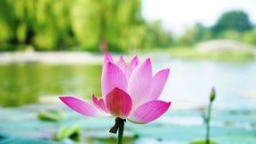 Un fiore di loto e un germoglio sta stando nel fiume fotografia stock