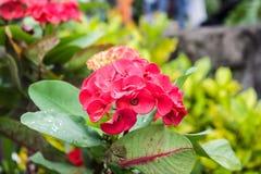 Un fiore di otto immortali Fotografie Stock Libere da Diritti