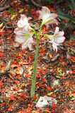 Un fiore di quattro fioriture Fotografia Stock