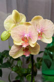 Un fiore di quattro orchidee Immagini Stock Libere da Diritti