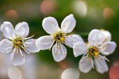 Un fiore di tre ciliege Fotografia Stock Libera da Diritti