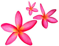 Un fiore di tre Frangipani isolato su fondo bianco Fotografia Stock
