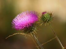 Un fiore e un germoglio del cardo selvatico nella luce del giorno pezzata Fotografie Stock Libere da Diritti