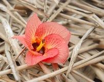 Un fiore esotico rosso fotografie stock