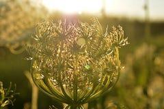 Un fiore fiorito del campo chiarito dal sole di pomeriggio immagini stock libere da diritti