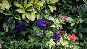 Un fiore generico di colore della lavanda in un giardino fotografia stock