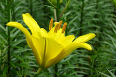Un fiore giallo del giglio Fotografie Stock Libere da Diritti
