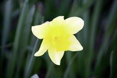 Un fiore giallo del narciso che fiorisce in un giardino in molla in anticipo fotografia stock libera da diritti